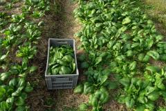 Première récolte d'épinards