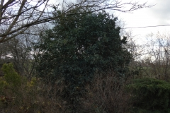 12-Buis-a-grandes-feuilles