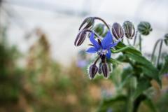 Une bourrache en fleur