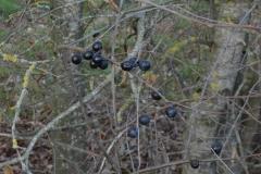 5-Baies-de-prunellier